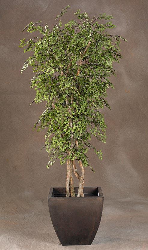 Black Olive Tree