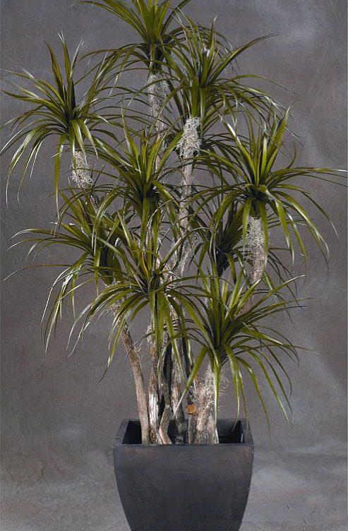 Draceana Tree